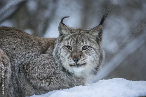 Poster Lynx Close up Eurasian Lynx Lynx lynx portrait in winter on snowy ground.