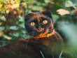 portrait of a black Scottish cat