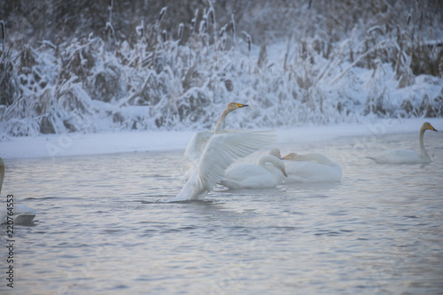 Fotografie, Obraz  Beautiful white whooping swans swimming in the winter lake