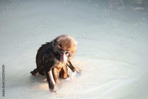 温泉に入るニホンザルの子供