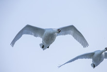 Flying Swan Close Up. White Sw...