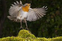 Robin (erithacus Rubecula), La...