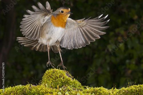 Cuadros en Lienzo robin (erithacus rubecula), landing, flight