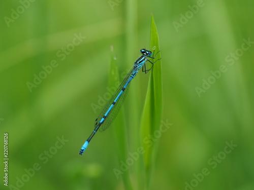 Makroaufnahme einer kleinen blaue Libelle. Diese sitzt an einen Grashalm .