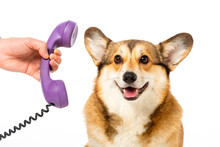 Partial View Of Man Giving Telephone Tube To Cute Corgi Isolated On White Background