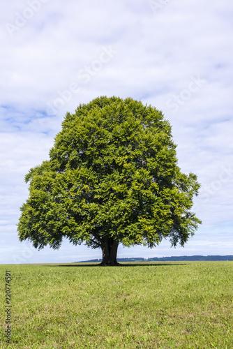 Große Buche als Einzelbaum in Wiese