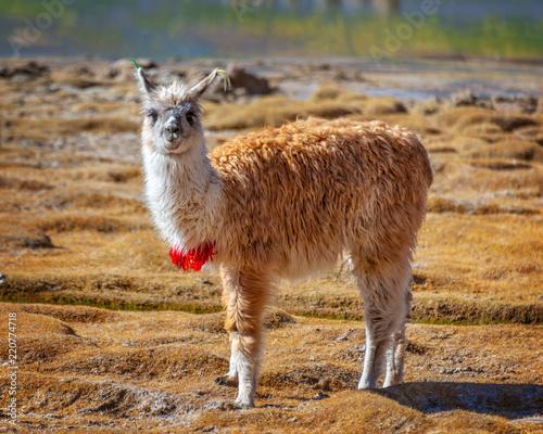 Staande foto Lama Portrait of a llama looking at the camera in Bolivia, South America
