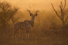 Kudu Male In Stunning Morning ...