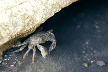 A Small Crab Crawled Out Of Th...