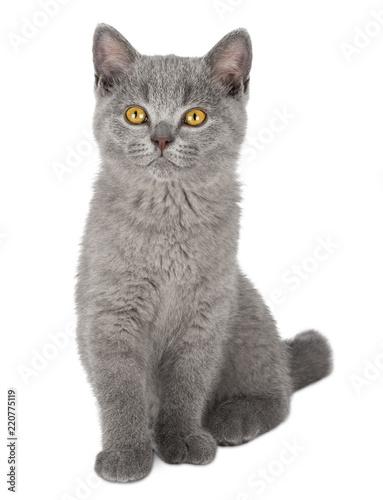 Fotografía  very cute blue british shorthair kitten cat sitting isolated on white background