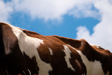 Back Of An Alpine Cow With Cloudy Sky In Background