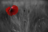 Fototapeta Papavers - Poppy flower or papaver rhoeas poppy with the light behind in Italy remembering 1918, the Flanders Fields poem by John McCrae and 1944, The Red Poppies on Monte Cassino song by Feliks Konarski