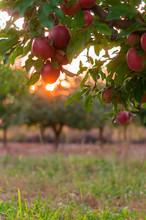 Apple On Trees In Fruit Garden...