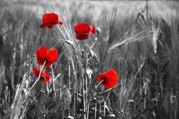 Fototapeta Minimalistyczny Guts beautiful poppies on black and white background