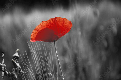 Printed kitchen splashbacks Meadow Poppy flower or papaver rhoeas poppy with the light behind in Italy remembering 1918, the Flanders Fields poem by John McCrae and 1944, The Red Poppies on Monte Cassino song by Feliks Konarski