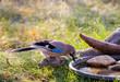 Vogeltränke und Eichelhäher