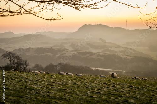Montage in der Fensternische Herbst Sheep grazing on a hillside in Fife, Scotland
