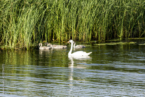 Aluminium Prints Camel A brood of swans, consisting of a swan mother and four baby swans, floats along the river near the reeds. Site about nature, wild life, birds, family.