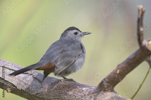 Poster Vogel gray catbird (Dumetella carolinensis), perched in a tree, floirda backyard,north american bird