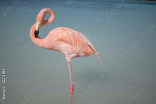 Keuken foto achterwand Flamingo Fenicottero rosa ad Aruba - Caraibi