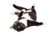Black And White Cat Lying On White Background. Isolated On White