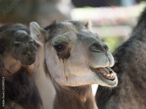 Close up of a camel.