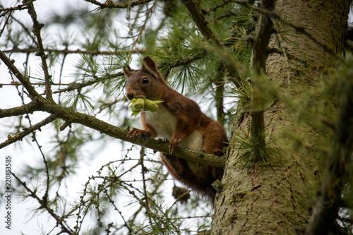 Zdjęcie XXL Wiewiórka z żołądź