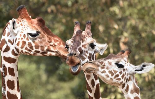 Foto op Aluminium Giraffe Reticulated giraffe (Giraffa camelopardalis reticulata)
