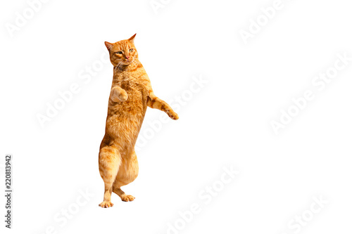 Photo Ginger pensive cat standing on its hind legs isolated on a white background