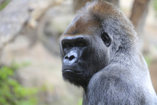 Gorillas (Gorilla) Portrait