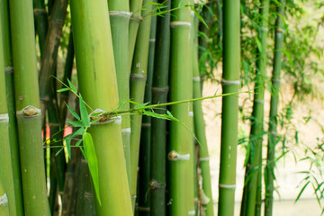 Green bamboo and blurred background