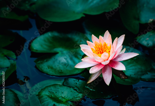 Poster de jardin Nénuphars A beautiful lotus flower is complimented by the rich colors of the deep blue water surface.Nature Background.