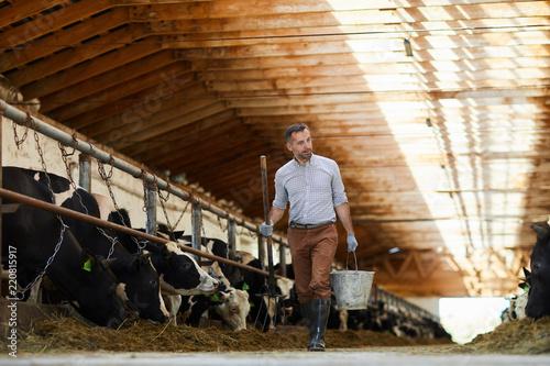 Fototapeta Full length portrait of modern farm worker  holding buckets walking towards camera in sunlit cow shed, copy space obraz