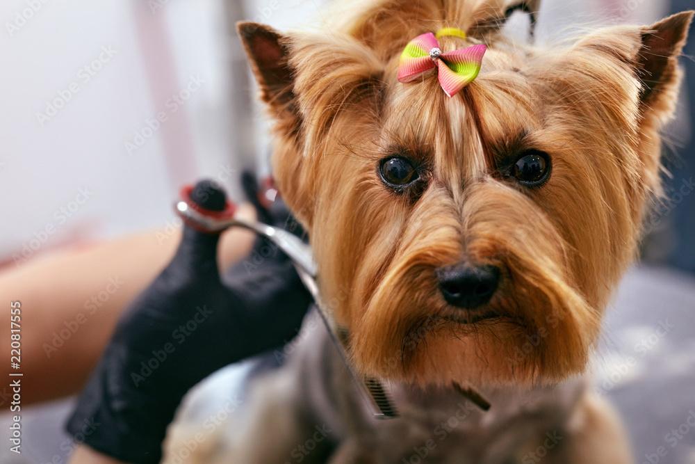 Dog Gets Hair Cut At Pet Spa Grooming Salon. Closeup Of Dog