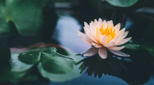 Lotus Flower In Pond.Nature Background