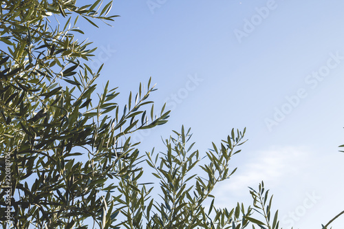 olive tree foliage background
