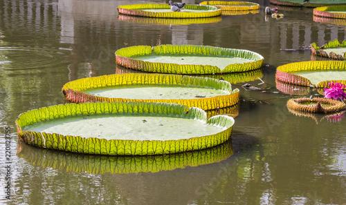 Deurstickers Waterlelies Victoria, Giant lotus flower
