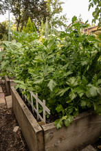 Lush Garden Vegetables, Including Celery, Beans, Cucumbers All Growing In Raised Beds During Height Of Summer Season.