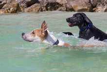 Two Dogs Swimming In Ocean, Un...