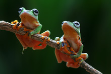 Two Wallace's Flying Frog On A...