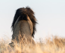 Rear View Of A Lion Sitting In The Bush, Kgalagadi Transfrontier Park, South Africa