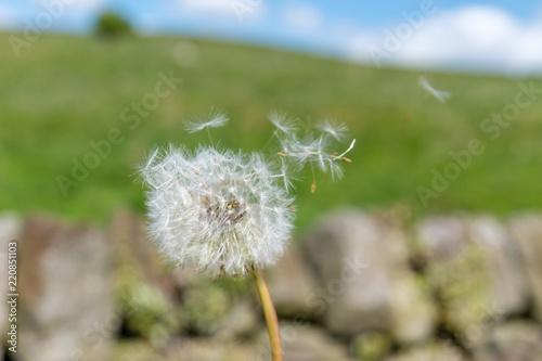 Dandelion Seed Head Blowing in the Wind