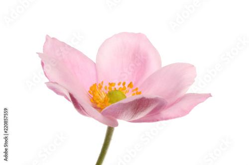 Leinwand Poster Pink anemone flower