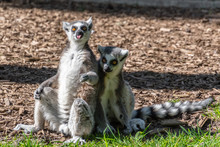 Ring Tailed Lemurs Sunbathing