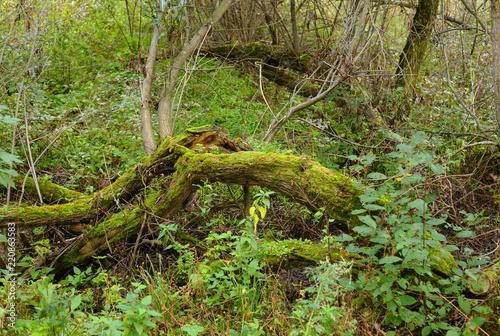 Fototapeten Wald Fallen trees in the deciduous forest.