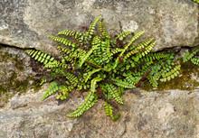 Maidenhair Spleenwort, Asplenium Trichomanes, A Small Fern, Growing On A Wall
