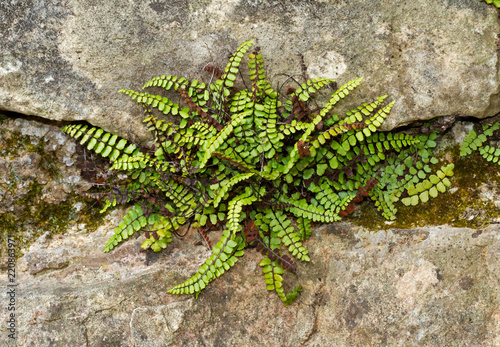 Maidenhair spleenwort, Asplenium trichomanes, a small fern, growing on a wall