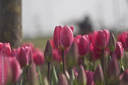 Red tulips in the flower garden. Tulips Background