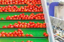 Fresh Small Tomatoes On A Green Conveyor Belt In A Dutch Greenhouse