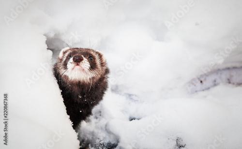 Fotografering  Mustela putorius furo, ferret, walking in the snow